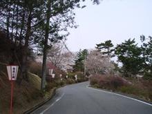 全山桜満開です