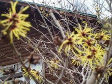 「まんさく」の花