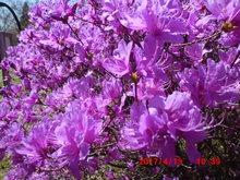 ミツバツツジ開花