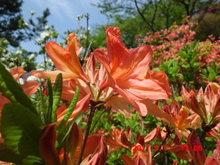 レンゲツツジ開花してます