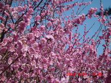 春の空と梅のピンク