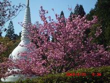 春の青空と八重桜